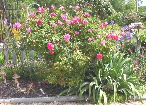 Rose 'Madame Lombard'-997