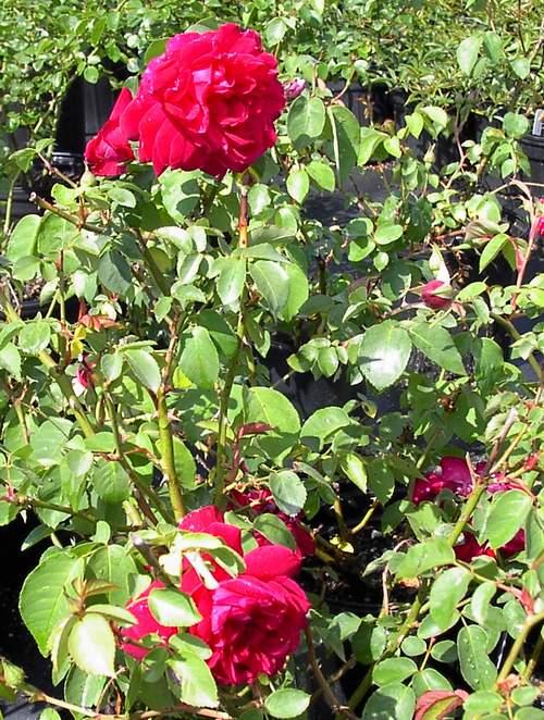 Rose 'Maggie'-766