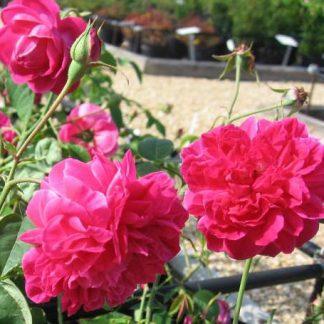 Rose 'Maggie'-0
