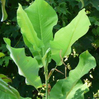 Ashe Magnolia-0
