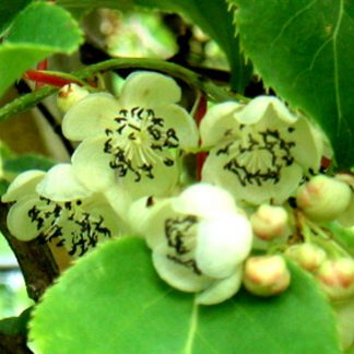 Hardy Kiwi 'Male Pollinator'-0
