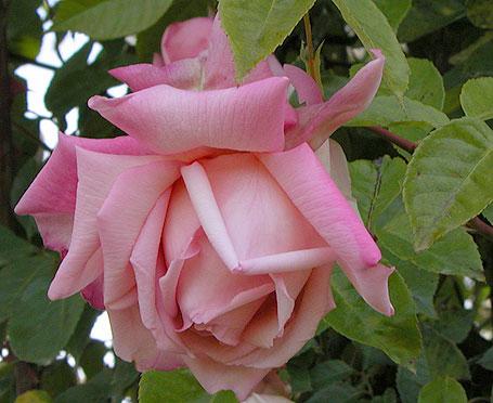 Rose 'Maman Cochet'-0