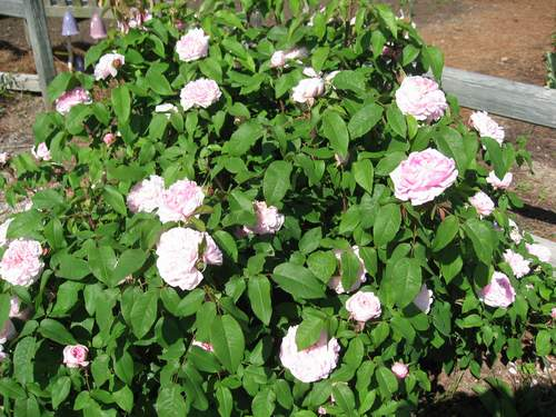 Rose 'Marchesa Boccella-0