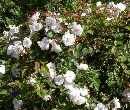 Rose 'Marie Pavie'-895