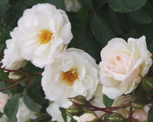 Rose 'Marie Pavie'-898