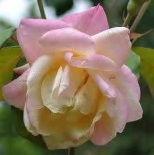 Rose 'Marie Van Houtte'-1002