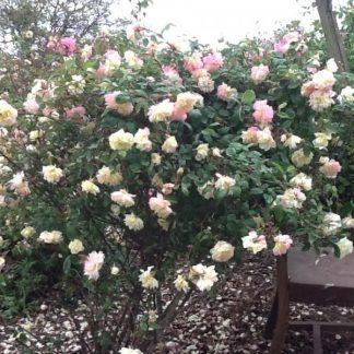 Rose 'Marie Van Houtte'-0