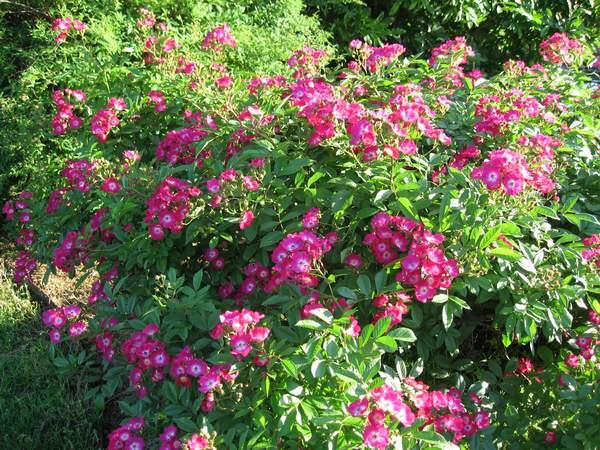 """Rose """"Marjorie Fair'-847"""