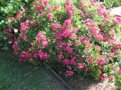"""Rose """"Marjorie Fair'-856"""