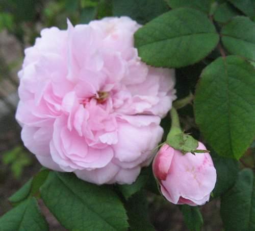 Rose 'Marchesa Boccella-849