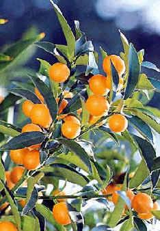 Kumquat 'Miewa'-0