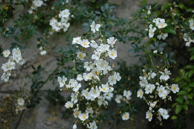 Rose 'Memorial Rose'-949