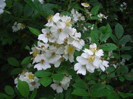 Rose 'Memorial Rose'-948