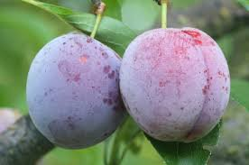 Plum 'Methley'-0