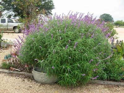 Mexican Bush Sage-0