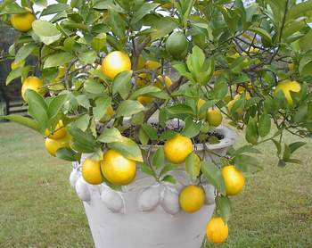 Meyer Lemon - 1 gal-0