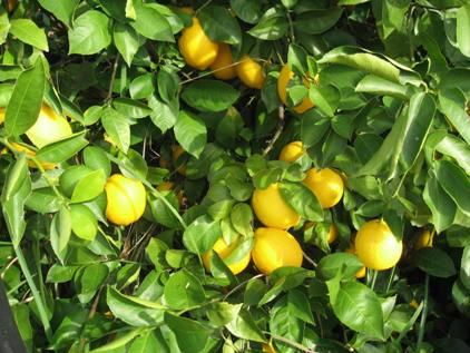Meyer Lemon - 3 gal.-0