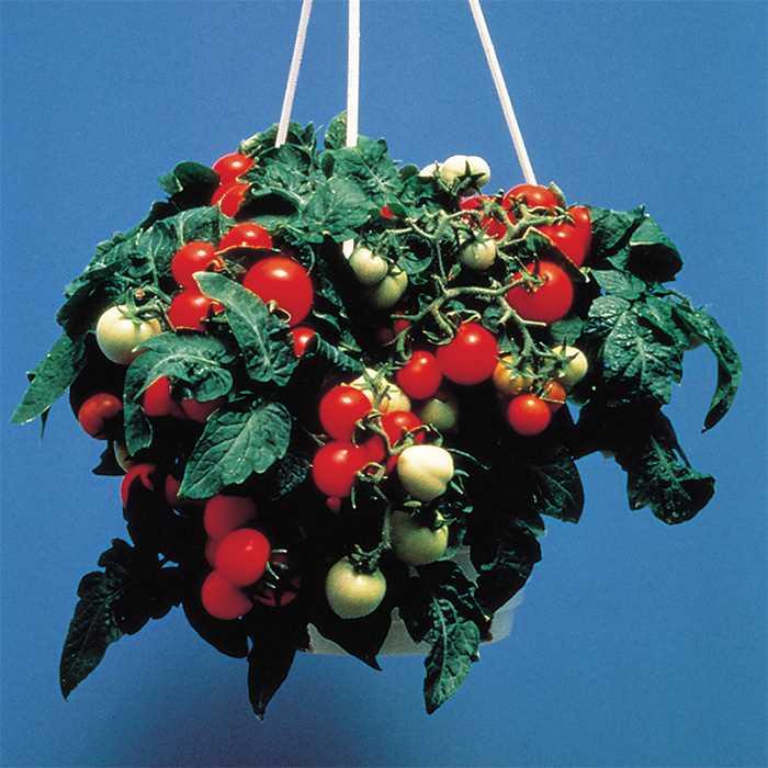 Tomato 'Micro Tom'-0