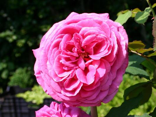 Rose 'Madame Isaac Pereire-769