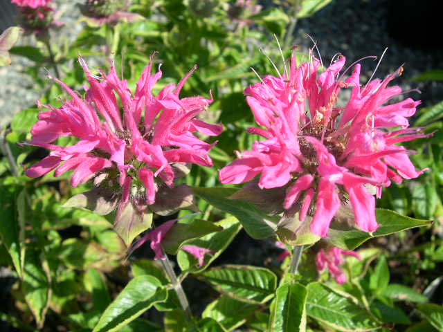 Bee Balm 'Marshall's Delight'-709