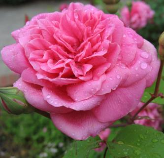 Rose 'Monsieur Tillier'-1003