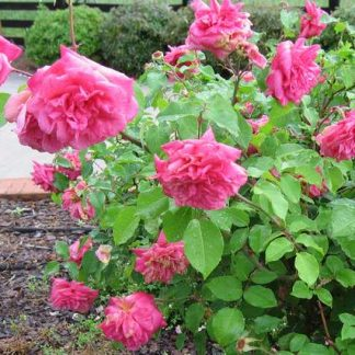 Rose 'Monsieur Tillier'-0