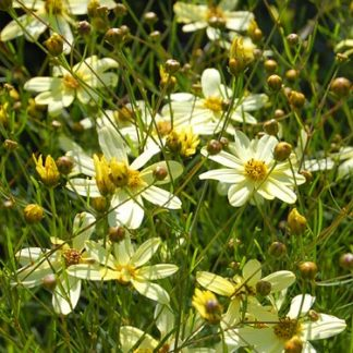 Coreopsis 'Moonbeam'-0