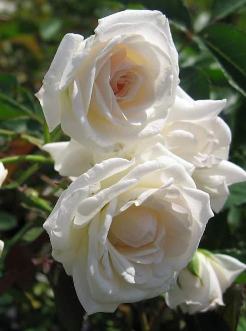"""Rose """"Moonlight'-824"""