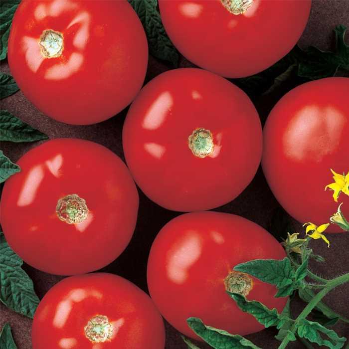 Tomato ' Mountain Fresh'-0