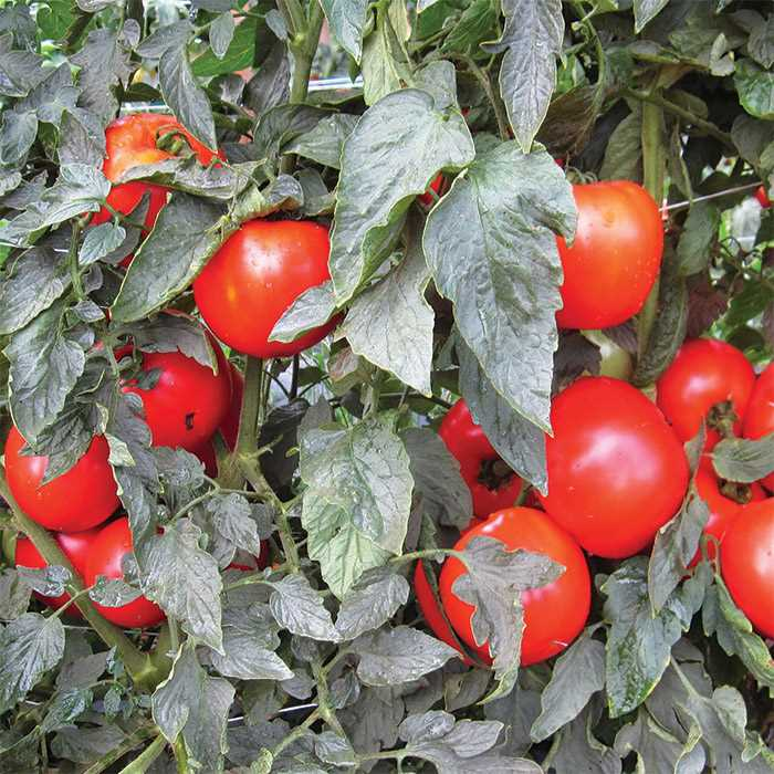 Tomato 'Mountain Merit'-0