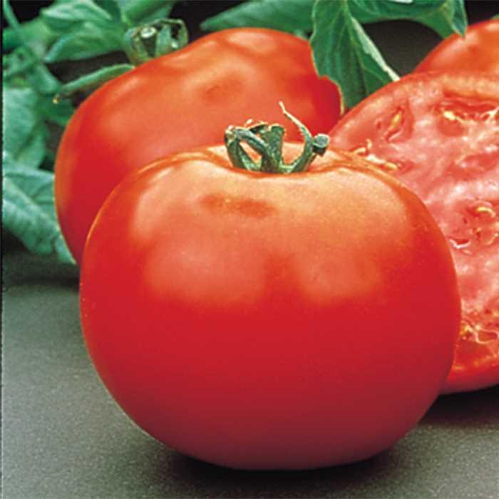 Tomato 'Mountain Pride'-0