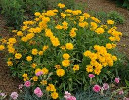 Coreopsis 'Mouse Ears'-43