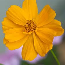 Coreopsis 'Mouse Ears'-0