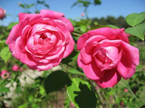 Rose 'Mrs. B. R. Cant'-1005