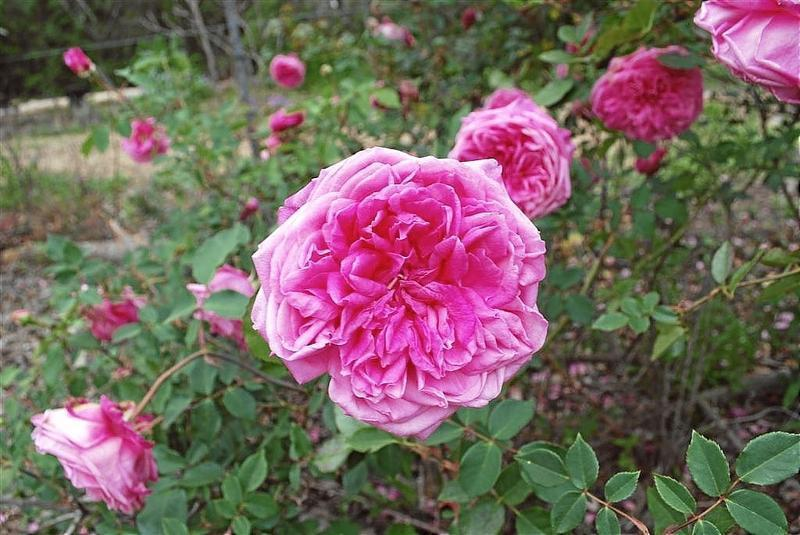 Rose 'Mrs. B. R. Cant'-1009
