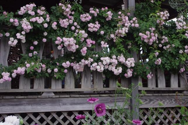 Rose 'Multiflora Carnea'-966