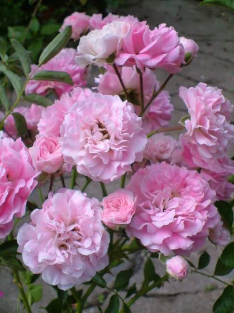 Rose 'Multiflora Carnea'-968