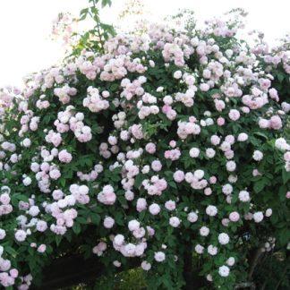 Rose 'Multiflora Carnea'-0