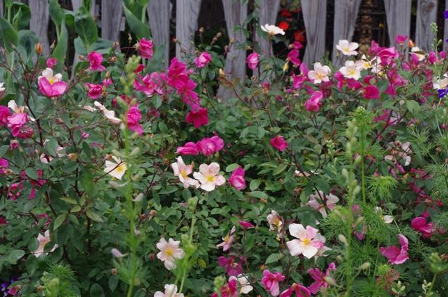 Rose 'Mutabilis'-0