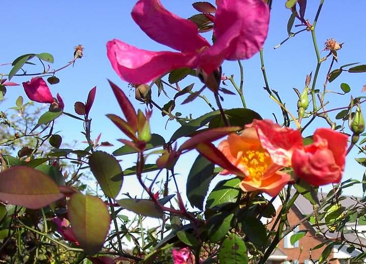 Rose 'Mutabilis'-795