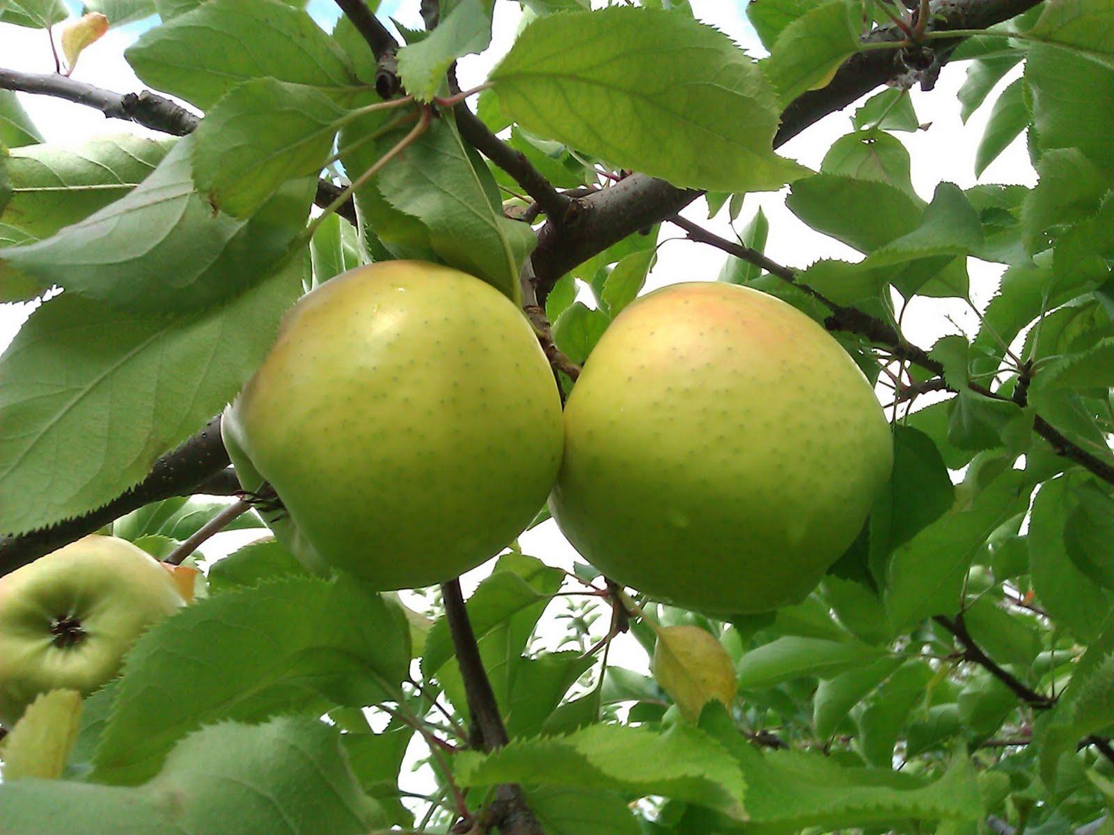 Apple 'Mutsu'-1446