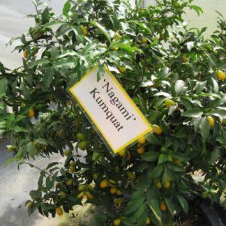 Kumquat 'Nagami'-0