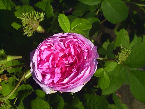 Rose 'Napoleon'-799