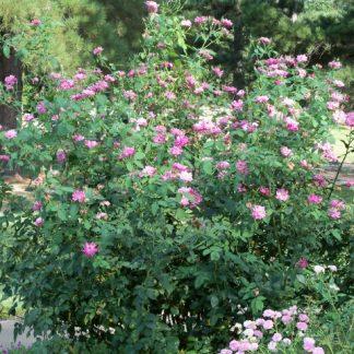Rose 'Napoleon'-0
