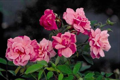 Rose 'Natchitoches Noisette'-872