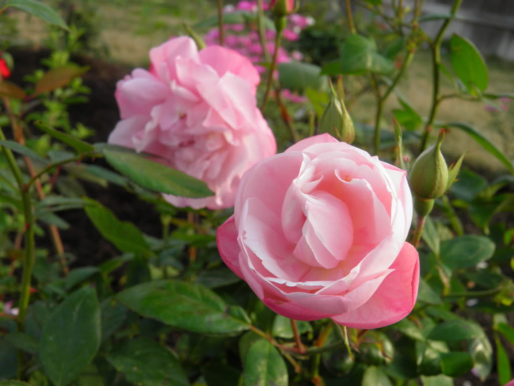 Rose 'Natchitoches Noisette'-0