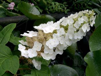 Oak Leaf Hydrangea 'Ellen Huff'-1551