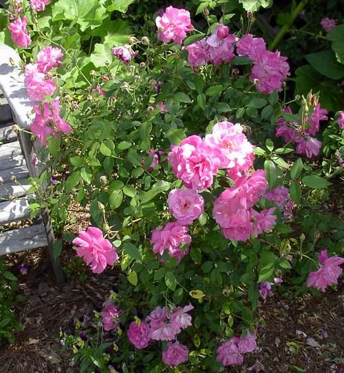 Rose 'Old Blush'-0