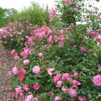 Rose 'Old Blush Climbing'-0