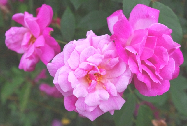 Rose 'Old Blush Climbing'-805